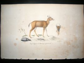 Saint Hilaire & Cuvier C1830 Folio Hand Colored Print. Virginian Deer